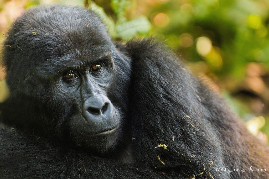 Mountain gorilla in Bwindi forest