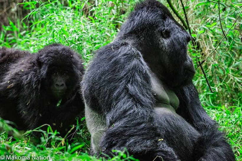 21 day kenya, uganda wildlife and gorilla encounter safari