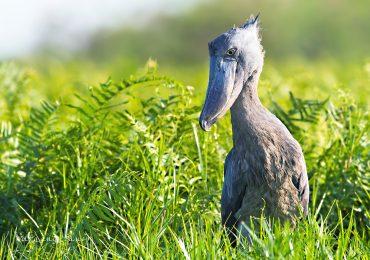 birding , bird watching in Uganda, Shoebill