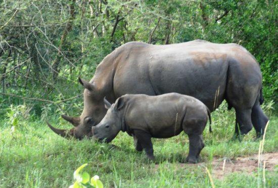 uganda-rhinos