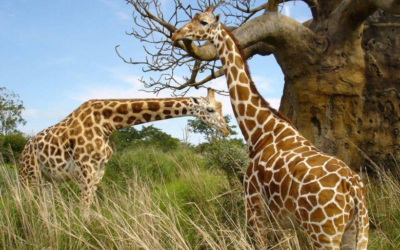 Giraffe uganda