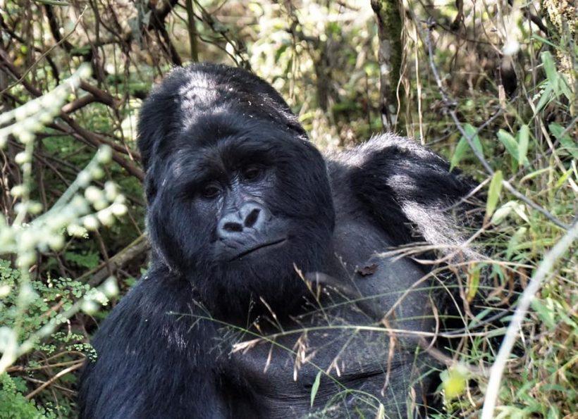 Uganda Gorilla Permit Cost,
