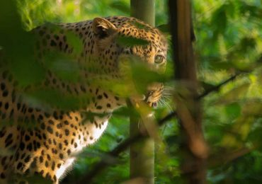 Leopard-in-bush