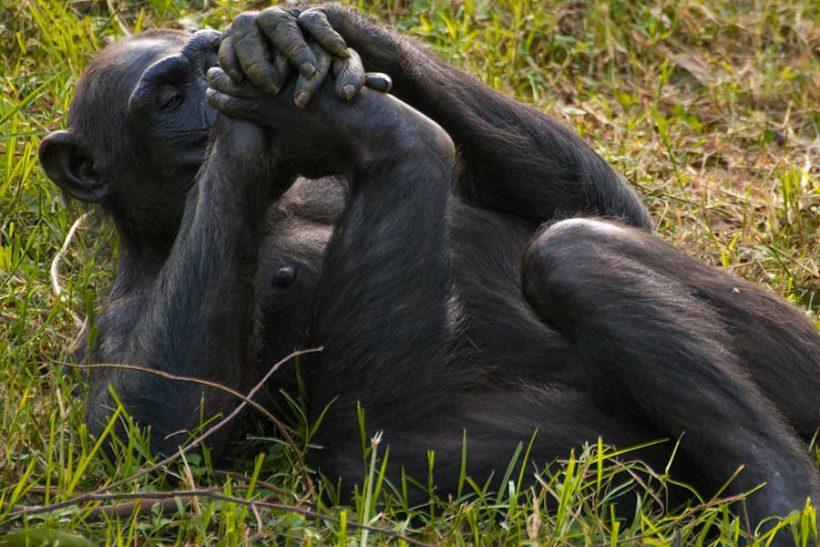 chimpanzee-tracking