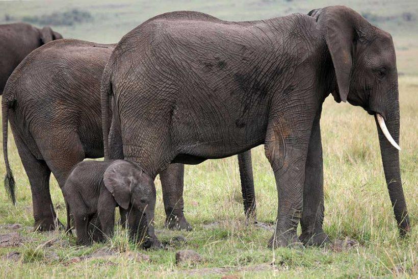 elephants-masai-mara