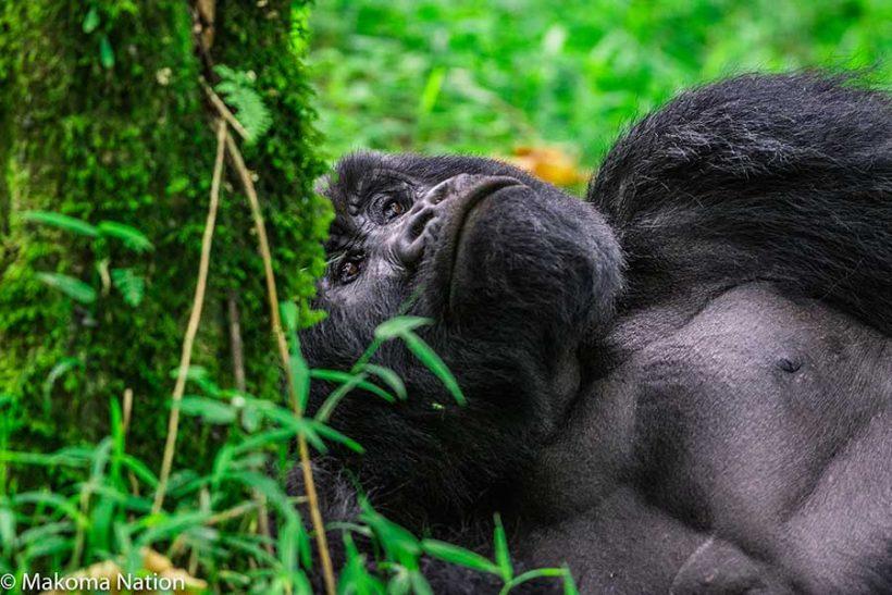 endagered-mountain-gorilla