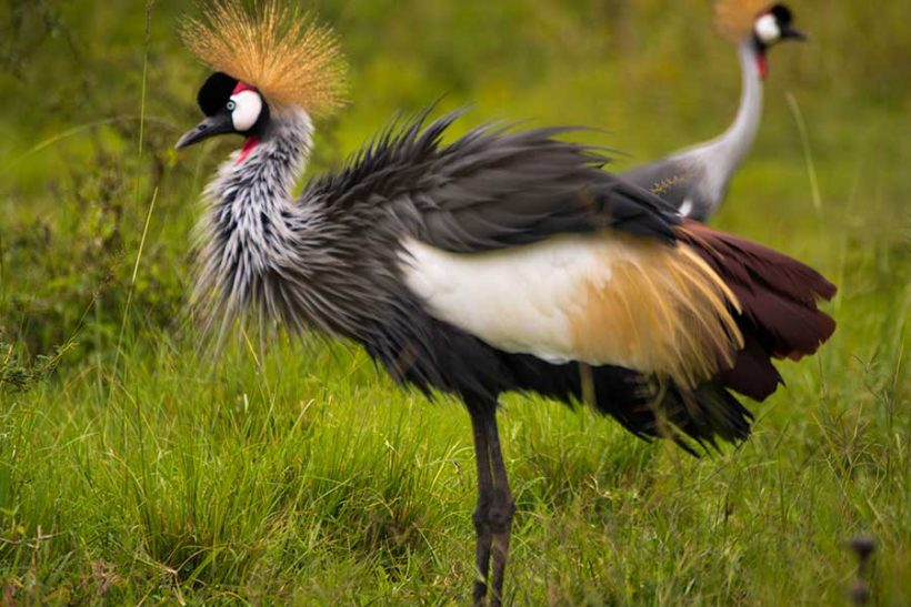 grey-crowned-crane