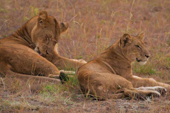 lionesses-in-uganda