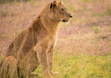 lions-of-uganda-qenp