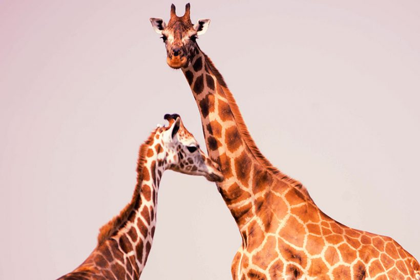 rothschild-giraffe-uganda