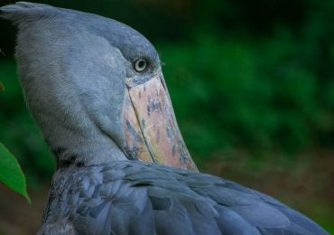 7 days Uganda birding safari - shoebill