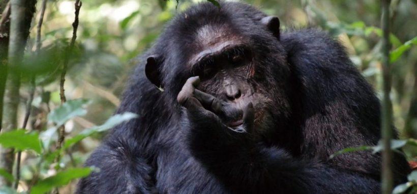 Chimpanzee Habituation Safari