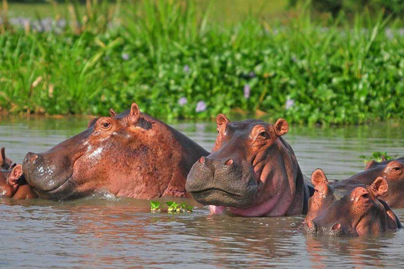 hippo-paraa-murchison