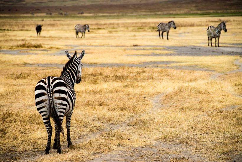 ngorongoro-zebra