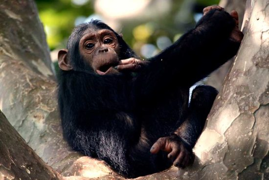 Chimpanzee Gombe national park