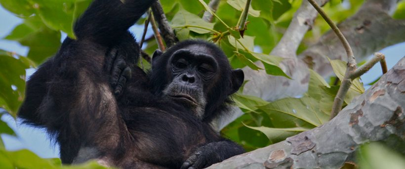 gombe-national-park-chimps