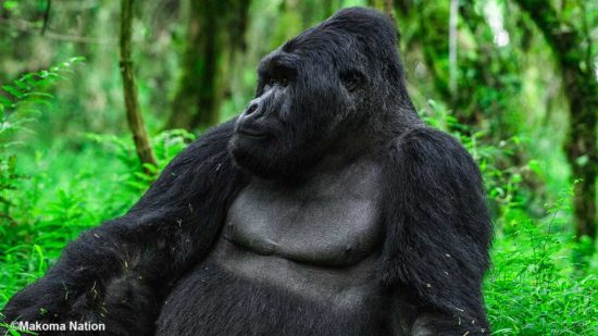 Uganda Gorilla Permit Cost & Booking Information