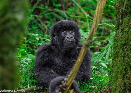 Uganda Rwanda affordable Safari - gorilla trekking