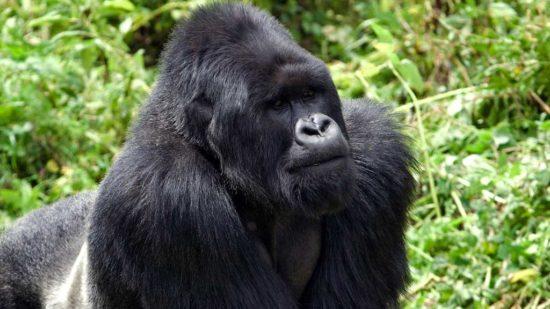 Rwanda Gorilla Permit