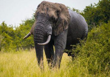 Elephant - 7 days Gorilla, Chimps & Wildlife Safari