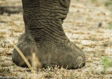 Elephant-foot