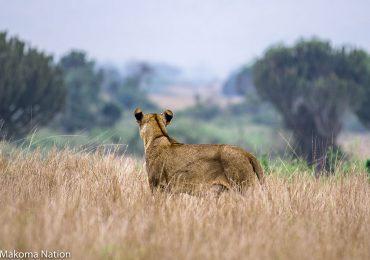 Lionness-in-Queen-uganda