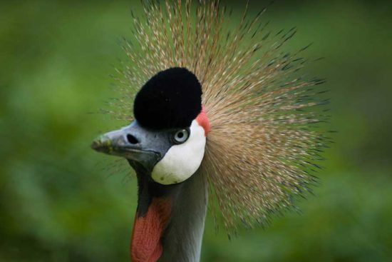 Best of Uganda Safari - Grey Crowned crane