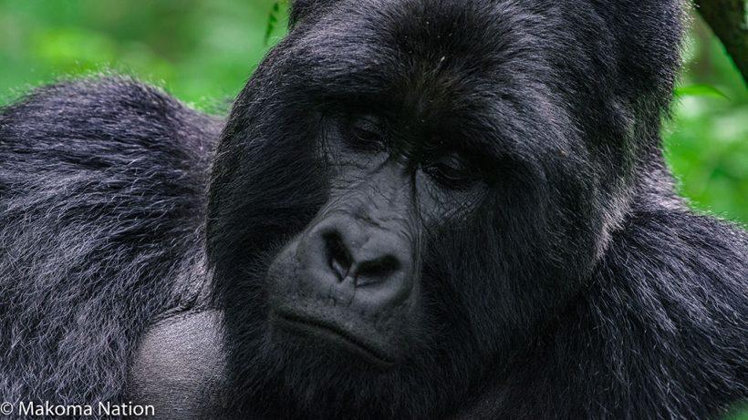 gorilla-trekking-in-uganda-rwanda-and-congo