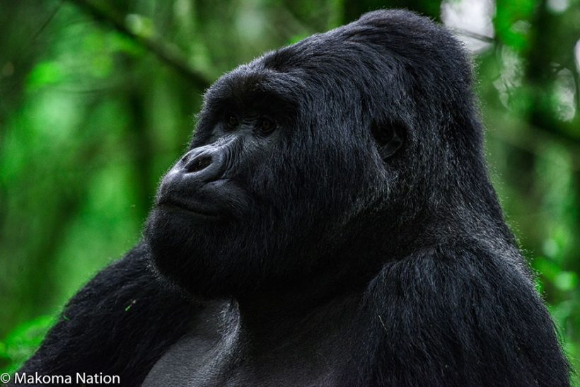 the-mountain-gorilla-of-uganda