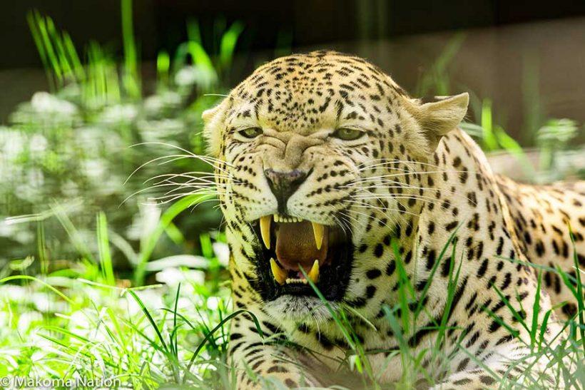 Leopard-Uganda-Safari