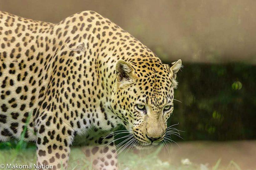 Leopard-walking