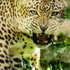 leopard-uganda-tours