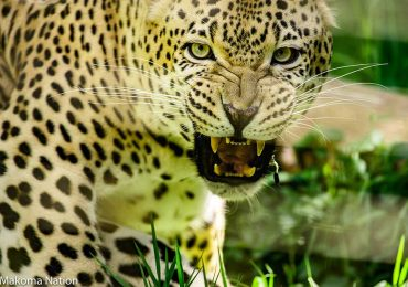 Leopard - Gorilla, Chimps & Wildlife Safari in Uganda