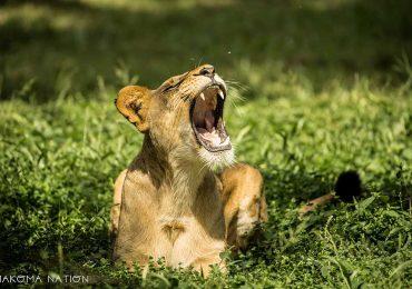 Lion - Best of Uganda Safari