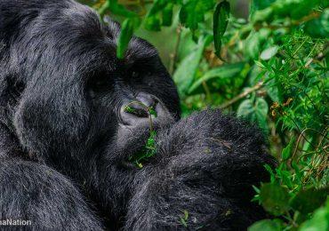 Ultimate Gorilla Trekking Guide for Uganda & Rwanda