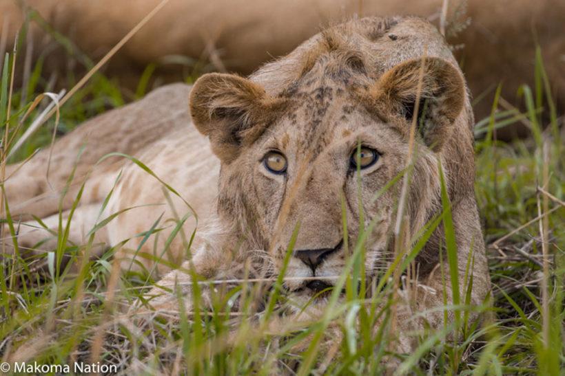 beautiful-lion-in-uganda