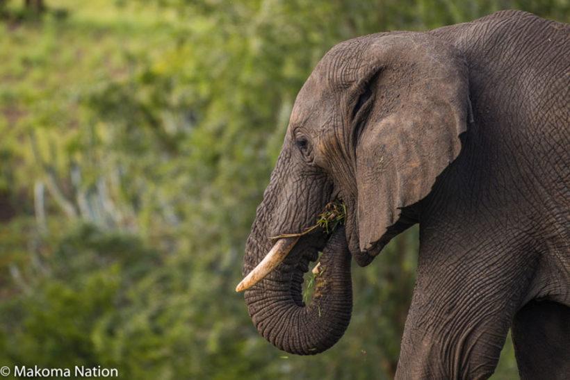 endagered-species—elephants