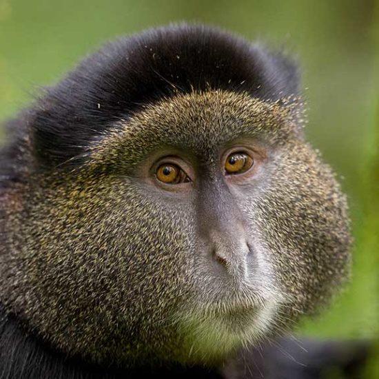 Golden Monkey in Rwanda